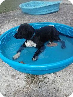 Labrador Retriever/Border Collie Mix Puppy for adoption in Bryant, Alabama - Little Man