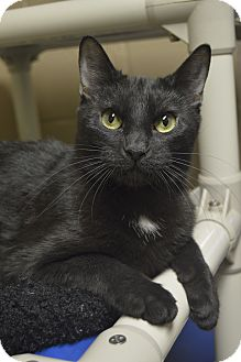 Domestic Shorthair Cat for adoption in Germantown, Tennessee - Ambrosia