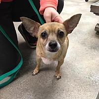 Adopt A Pet :: Honey: in Reading - Cincinnati, OH