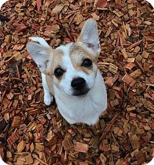 Miniature Pinscher Mix Puppy for adoption in Eugene, Oregon - Ethyl