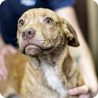 Hound (Unknown Type) Mix Puppy for adoption in Severance, Colorado - MILO