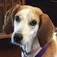 Foxhound Dog for adoption in Fairfax, Virginia - Gemma *Adopt or Foster*