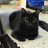 Adopt A Pet :: Shadow - Winston-Salem, NC