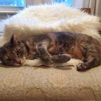 Adopt A Pet :: Bellatrix - Toronto, ON