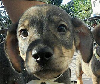 German Shepherd Dog/Labrador Retriever Mix Puppy for adoption in Oakley, California - Baby Jefferson