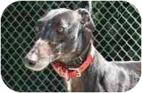 Greyhound Dog for adoption in Columbus, Ohio - Roxie