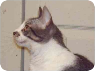 Domestic Shorthair Cat for adoption in East Stroudsburg, Pennsylvania - Roberta