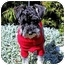 Photo 2 - Schnauzer (Miniature) Dog for adoption in Redondo Beach, California - Sherlock