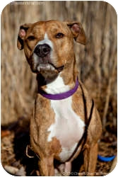 American Staffordshire Terrier Mix Dog for adoption in Warren, New Jersey - Bailey