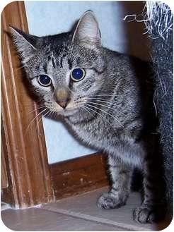 Domestic Shorthair Cat for adoption in Oklahoma City, Oklahoma - Marceda
