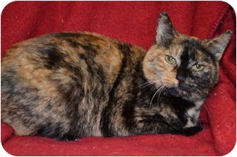Domestic Shorthair Cat for adoption in Troy, Michigan - Gretchen