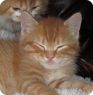 Persian Kitten for adoption in Davis, California - Dorito