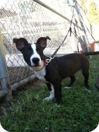 Labrador Retriever Mix Puppy for adoption in Columbus, Georgia - Eva 274A