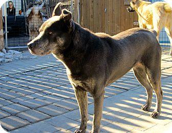 Catahoula Leopard Dog/German Shepherd Dog Mix Dog for adoption in Providence, Rhode Island - Bella