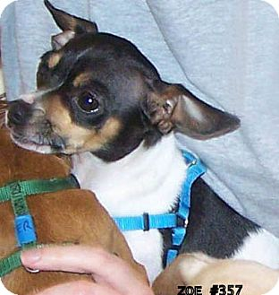 Chihuahua Mix Dog for adoption in Seattle, Washington - Zoe