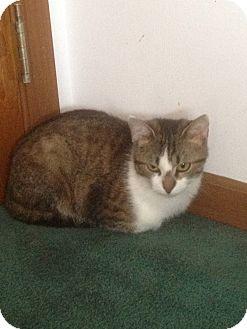 Domestic Shorthair Cat for adoption in Harvard, Illinois - Pebbles