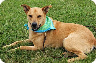 Labrador Retriever/Cattle Dog Mix Dog for adoption in Princeton, Kentucky - Miller