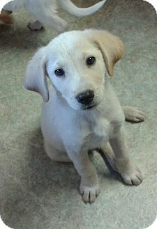 Labrador Retriever/Shepherd (Unknown Type) Mix Puppy for adoption in Cranford, New Jersey - GILL