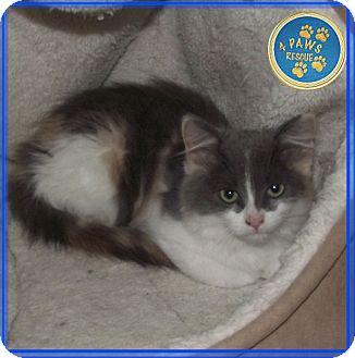 Domestic Longhair Cat for adoption in Englehart, Ontario - Sally