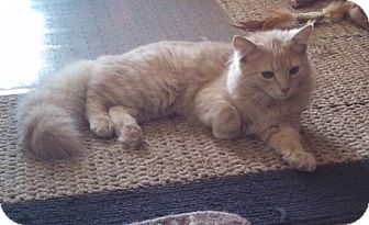 Maine Coon Kitten for adoption in Charlotte, North Carolina - Butterscotch