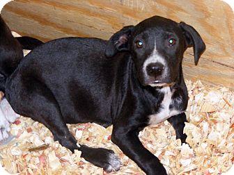 Labrador Retriever Mix Puppy for adoption in Palm Harbor, Florida - Bella