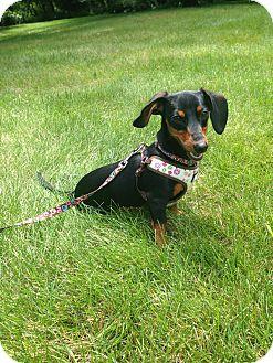 Dachshund Dog for adoption in Franklin, Indiana - Zena