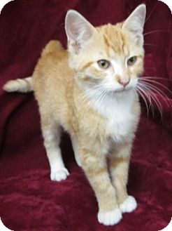 Domestic Shorthair Kitten for adoption in Olive Branch, Mississippi - Mickey