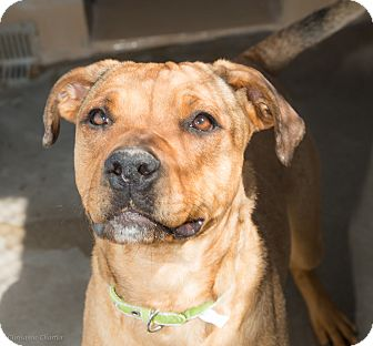 Shar Pei/American Staffordshire Terrier Mix Dog for adoption in Sierra Vista, Arizona - Jill