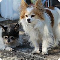 Adopt A Pet :: COURTESY Duke & Duchess - Lynnwood, WA