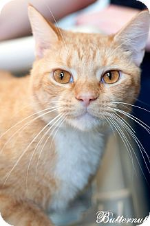 Domestic Shorthair Cat for adoption in Manahawkin, New Jersey - Butternut