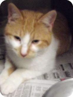 Domestic Shorthair Cat for adoption in Cheboygan, Michigan - RUDY