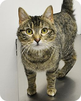 Domestic Shorthair Cat for adoption in Springfield, Illinois - Heather
