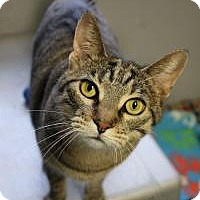 Domestic Shorthair Cat for adoption in Yukon, Oklahoma - Honor