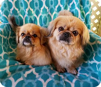 Pekingese Mix Dog for adoption in Houston, Texas - Kimchi