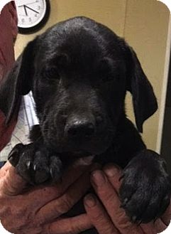 Labrador Retriever Mix Puppy for adoption in Saddle Brook, New Jersey - Luke
