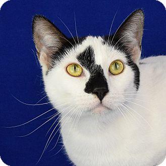 Domestic Shorthair Cat for adoption in Carencro, Louisiana - Tangi
