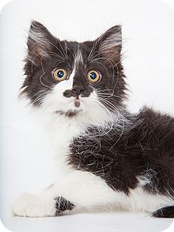 Maine Coon Kitten for adoption in Nashville, Tennessee - Larissa