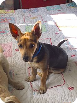Terrier (Unknown Type, Small) Mix Puppy for adoption in Pleasanton, California - Scully - adoption pending