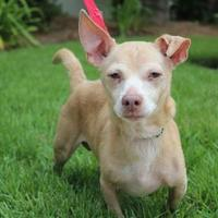 Adopt A Pet :: Chip - Brunswick, GA