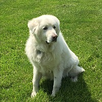 Great Pyrenees Mix Dog for adoption in Bloomington, Illinois - Pepin