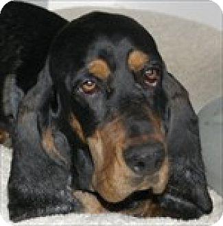 Basset Hound Dog for adoption in Charleston, South Carolina - Tula