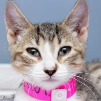 Adopt A Pet :: Lollipop - Hattiesburg, MS
