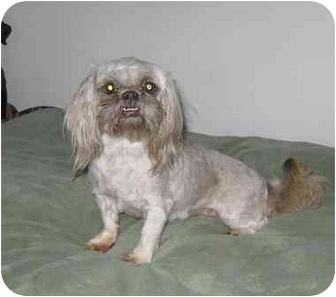 Shih Tzu Dog for adoption in Evansville, Indiana - Missy
