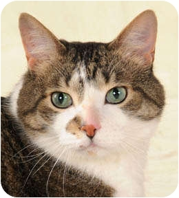 Domestic Shorthair Cat for adoption in Chicago, Illinois - George