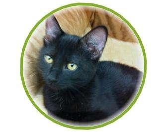 Domestic Shorthair Kitten for adoption in Sugar Land, Texas - -Spirit
