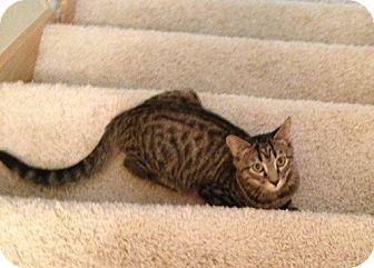 Domestic Shorthair Cat for adoption in Bentonville, Arkansas - Later