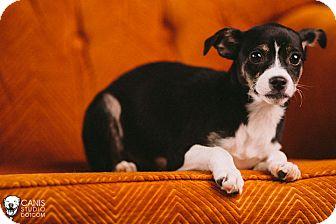 Boston Terrier/Chihuahua Mix Puppy for adoption in Portland, Oregon - Junbug