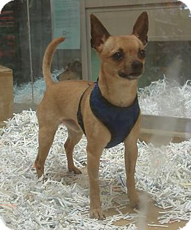 Chihuahua Mix Dog for adoption in Mt. Prospect, Illinois - Momo