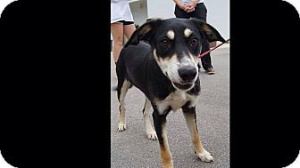 Shepherd (Unknown Type) Mix Dog for adoption in Dillon, South Carolina - Coopa