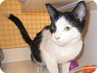 Domestic Shorthair Cat for adoption in Warren, Michigan - Sneaky